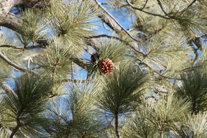 Types de plantes et d'arbres à feuilles persistantes