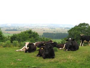 Médicaments contre la gale chez les bovins