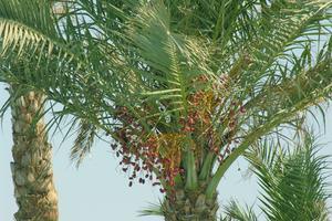 Informations de plus en plus de palmier dattier
