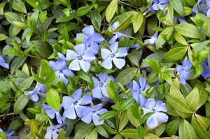 Florida faible croissance des plantes à feuilles persistantes