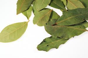 Comment identifier à mâcher dégâts d'insectes sur les feuilles de Laurier ?