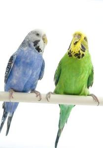 Types de plumes sur une perruche