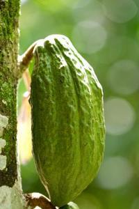 Quels sont les avantages du beurre de cacao ?