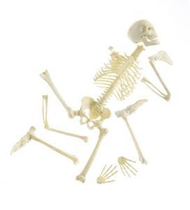 Comment mémoriser les os dans le corps