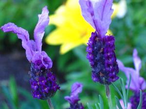 Coupe fleurs de lavande - Quand couper les fleurs de lavande ...