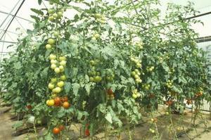 Éclairage pour tomates hydroponiques