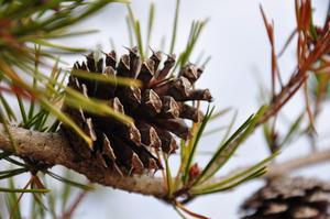 pin des semis d 39 arbres et arbustes croissance rapide. Black Bedroom Furniture Sets. Home Design Ideas