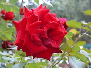 Le meilleur moment pour la plante a Stairway to Heaven Rose Bush