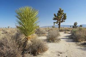 Comment recouper une plante yucca - Comment tailler un yucca ...