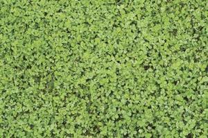 Feuilles de trèfle comme sur les plantes vivaces
