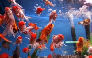 Quels légumes devraient nourrir poisson rouge ?