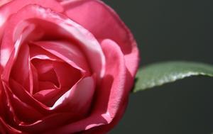 Comment tailler un arbuste Camellia