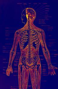 Croissance des organes humains