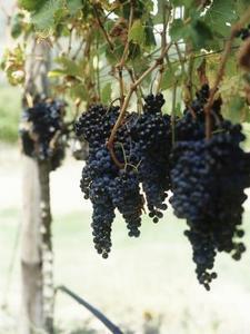 Planter une noisette - Comment planter une vigne ...