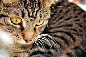Remèdes naturels pour soigner & empêcher chat puces