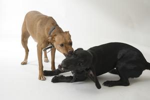Ce qui pourrait causer la perte de poids rapide chez les chiens ?
