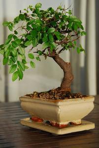 Comment faire pousser des arbres Bonsai rapide