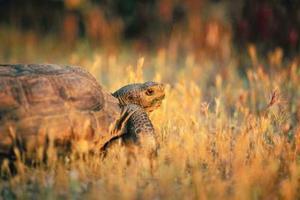 Comment prendre soin pour les tortues sillonnées africaines en hiver