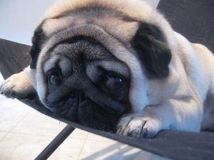 Médicament contre la toux est sans danger pour les chiens ?