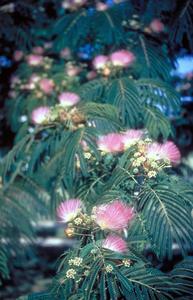 Comment prendre soin d 39 un arbre de mimosa for Taille d un albizia