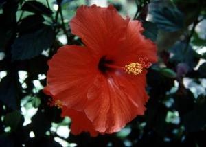 Comment prendre soin pour les arbustes à fleurs Hibiscus