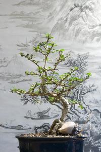 How to Rock-plante un bonsaï