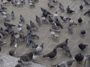 Comment se débarrasser des pigeons de nidification