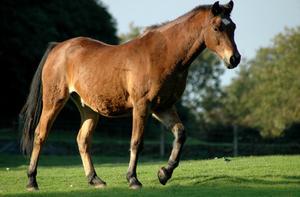 Signes & symptômes d'insuffisance cardiaque Congestive chez un cheval