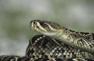 Serpents indigènes de Caroline du Sud