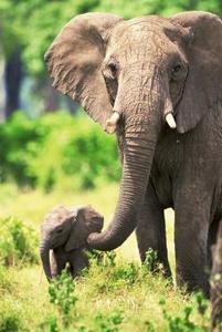 Comment les éléphants utilisent-ils leurs défenses à manger ?