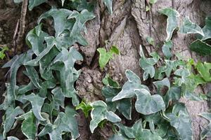 Sont le lierre plantes toxiques ?