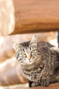 Différentes races de chats tabby