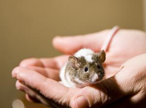 Comment se débarrasser des souris dans un plat