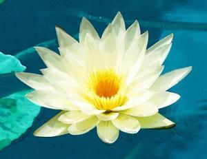 Quelles sont les adaptations d'une plante de lotus ?