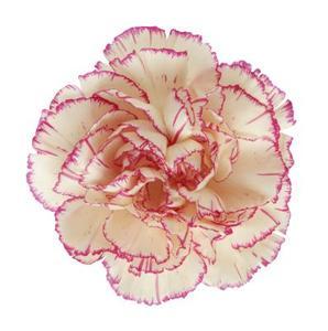Comment faire pour oeillets plantes alimentaires & colorant alimentaire ?