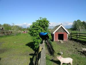Comment construire une maison de la peste porcine for Comment construire la maison parfaite