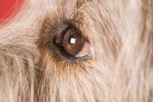 Sécrétions oculaires chez le chien