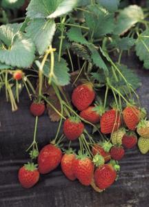 Quelle distance pour planter des fraises en transplantant