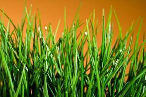 Quels sont les éléments naturels vous pouvez pulvériser sur la pelouse pour tuer les puces ?