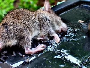 Quels sont les effets secondaires de d-Con Rat Poison ?