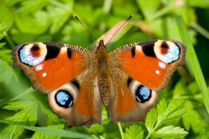 Activités de tableau blanc interactif de papillon