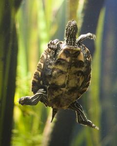 Comment prendre soin de bébés tortues d'eau dans un Aquarium