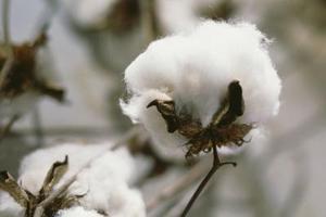 Projets scolaires sur le coton