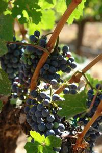Stades de croissance de vigne