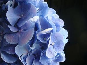 Comment faire un arrangement de soie hortensia - Comment faire secher des hortensias ...