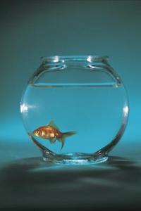 Comment identifier les différents types de poissons rouges