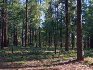 Comment faire pousser des arbres de pin à vendre
