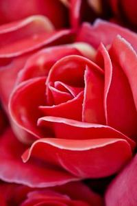 Comment dessiner une Rose en pleine floraison