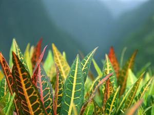 Plantes d'intérieur avec de grandes feuilles vertes, jaunes et rouges