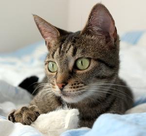 Causes possibles pour une respiration sifflante de symptômes chez un chat